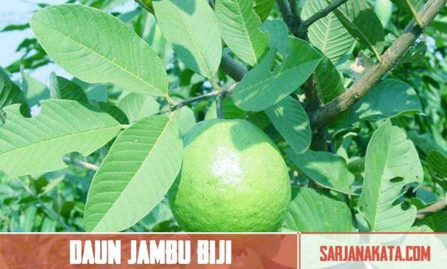 Daun Jambu Biji
